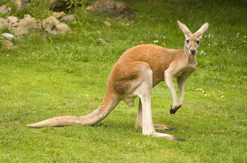 czerwony kangur zdjęcie stock