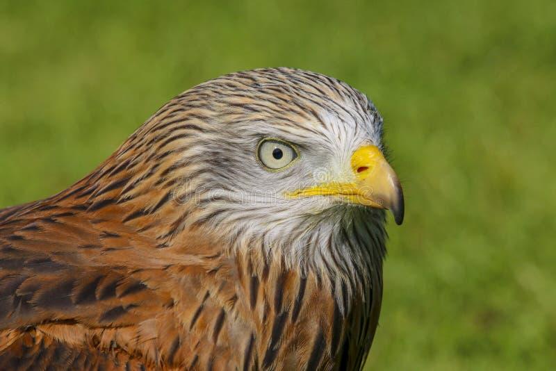 Czerwony kania ptak zdobycz, milvus milvis fotografia stock