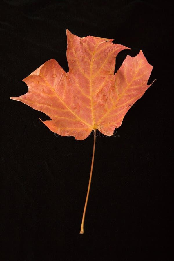 czerwony klonów liściach obrazy stock