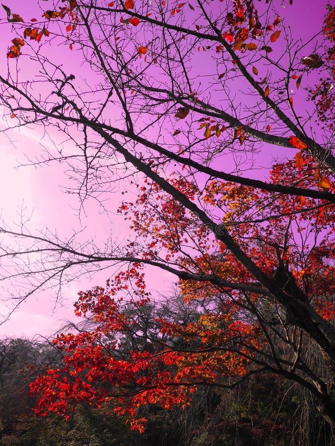 Czerwony klon pomarańczowy liści gałęzie drzewa na fioletowy różowy niebo jesienią w Kioto, Japonia zdjęcia royalty free