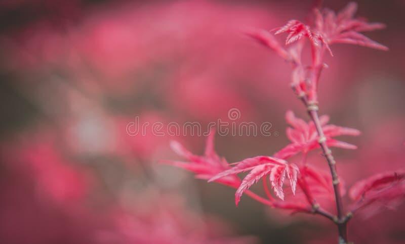 Czerwony klon z Bokeh 1 zdjęcie stock