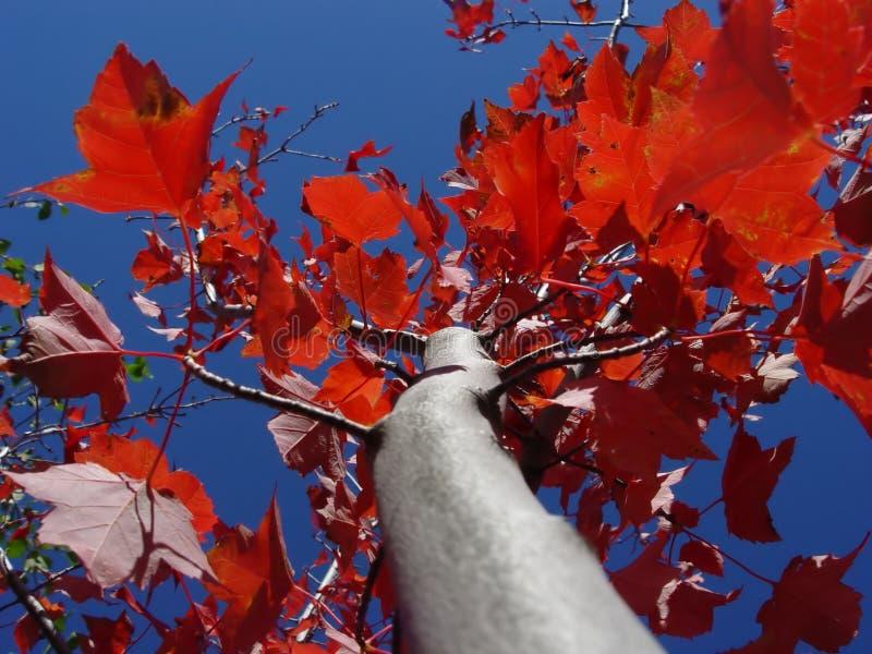 czerwony klonowy drzewo. fotografia stock