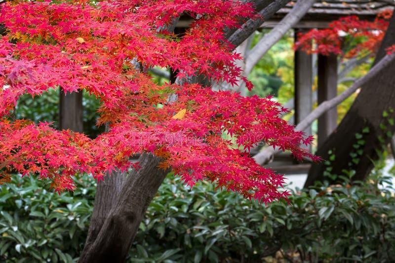 Czerwony Klonowy drzewo na Listopadu dniu fotografia royalty free