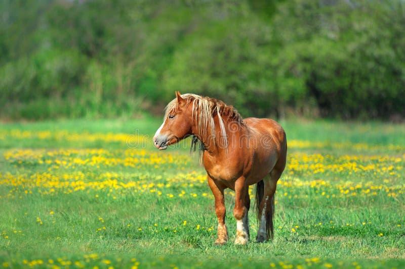 Czerwony koń w żółtych kwiatach obrazy royalty free