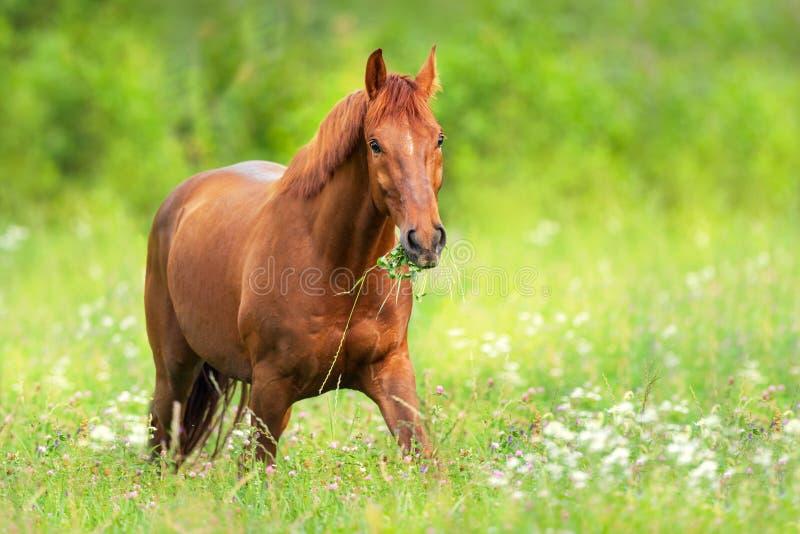 Czerwony koń w kwiatach fotografia royalty free