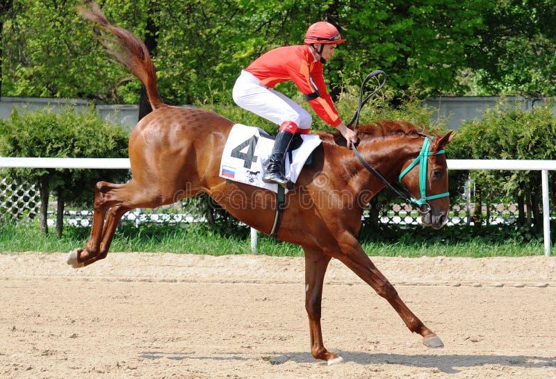 Czerwony koń wyścigowy skacze zdjęcia stock