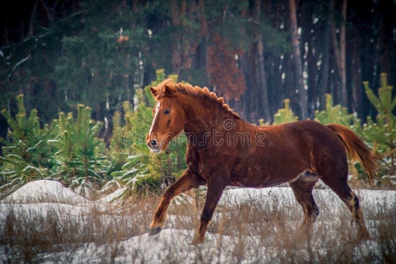 Czerwony koński bieg w lesie fotografia royalty free