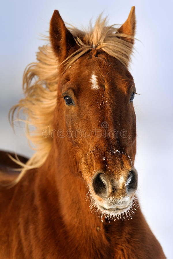 Czerwony koński portreta śnieg zdjęcia royalty free