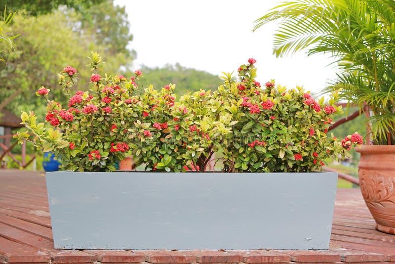 Czerwony kolca kwiat w długim cementowym garnku w ogrodowej dekoracji Rubiaceae Ixora coccinea zdjęcia stock
