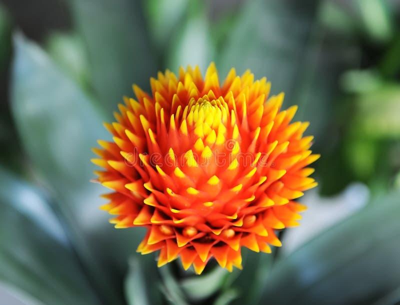 Czerwony kolor Guzmania kwiat fotografia royalty free