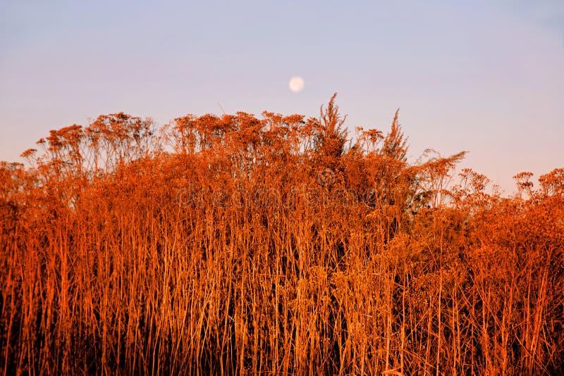 Czerwony kolor wysuszona jesieni trawa jako tło obrazy royalty free
