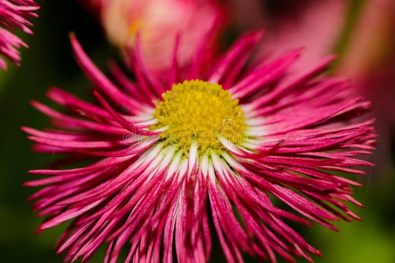 Czerwony koloru żółtego i białych kwiatów zamknięty up zdjęcie stock