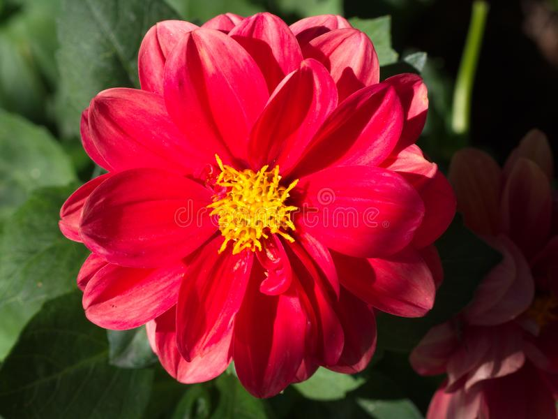Czerwony kosmosu kwiat fotografia royalty free