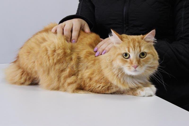 Czerwony kot który wdychał chloru opary Przy przyjęciem z weterynarzem Inhalacyjny otrucie obrazy stock