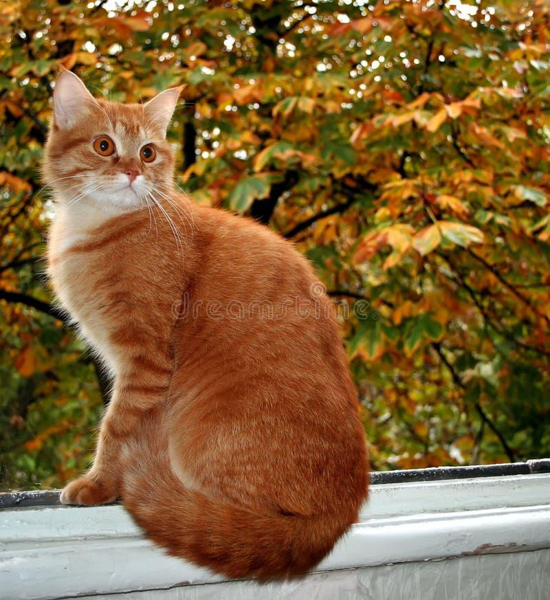 Czerwony kot siedzi na nadokiennym parapecie na tle jesień liście zdjęcie stock