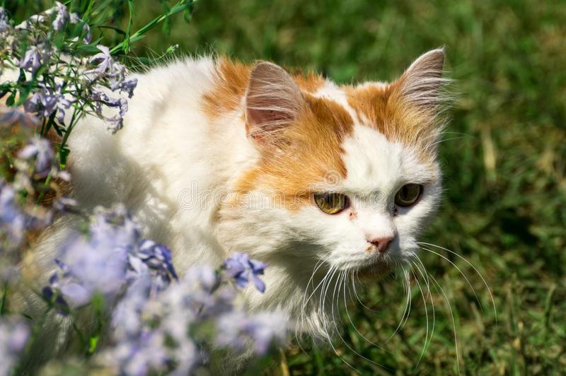 czerwony kota biel zdjęcia royalty free