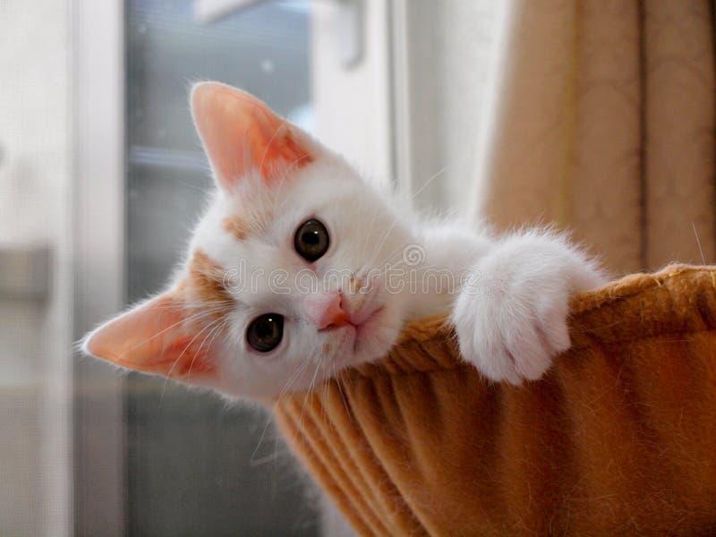 czerwony kota biel obrazy royalty free