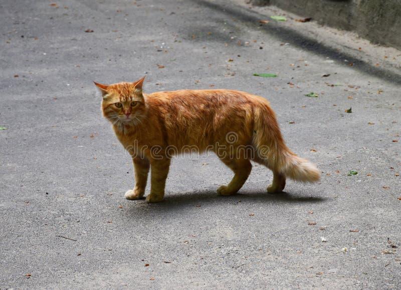 Czerwony kota A kot na ulicie fotografia stock