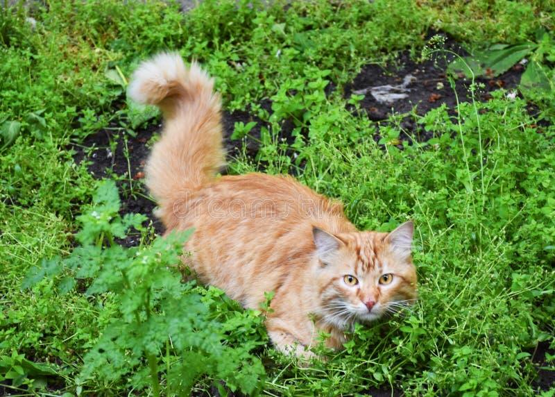 Czerwony kota A kot na ulicie zdjęcie stock