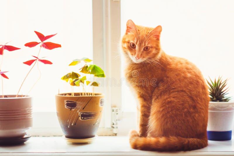 Czerwony kota obsiadanie Na okno zdjęcie royalty free