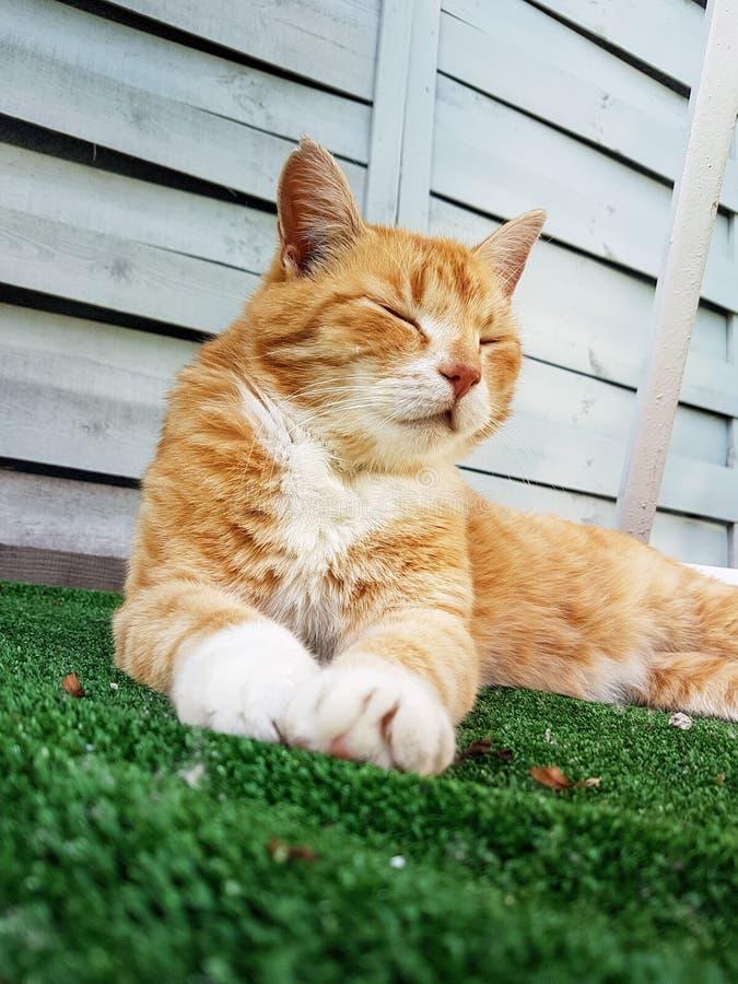 Czerwony kota obsiadanie na trawie zdjęcia royalty free