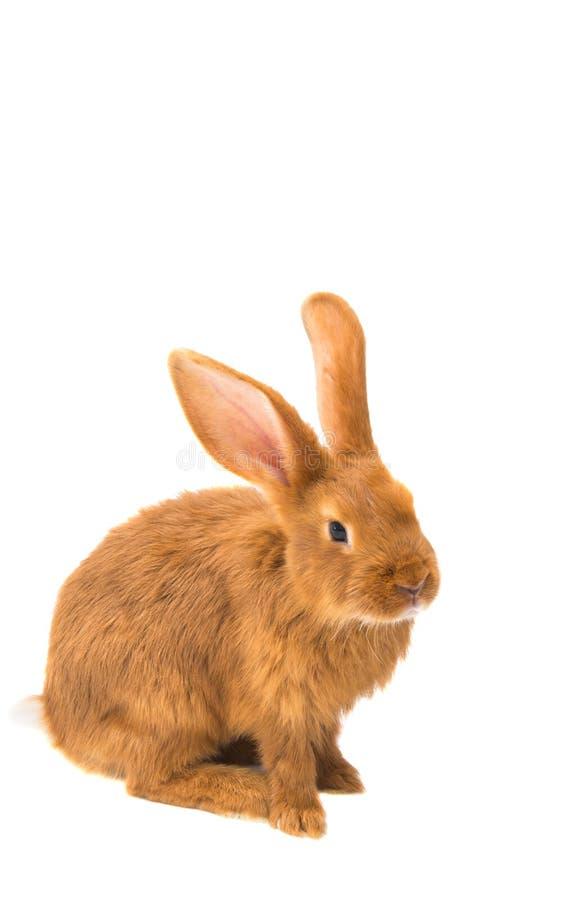 Czerwony królik odizolowywający zdjęcie royalty free
