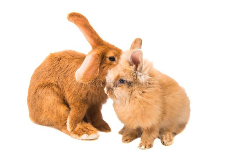 Czerwony królik odizolowywający obrazy royalty free