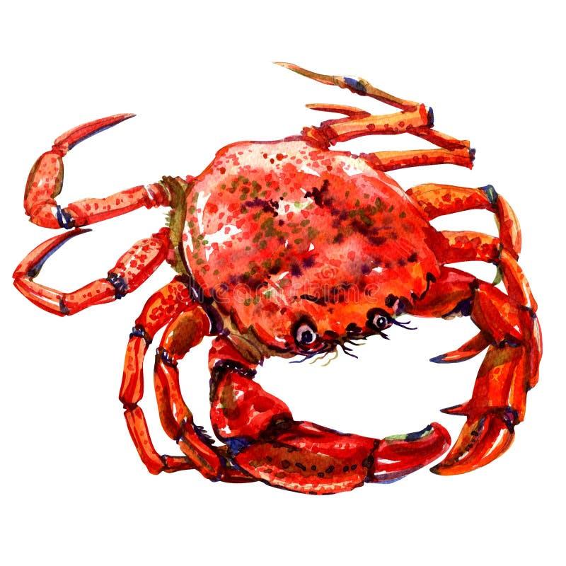 Czerwony krab odizolowywający na białym tle royalty ilustracja
