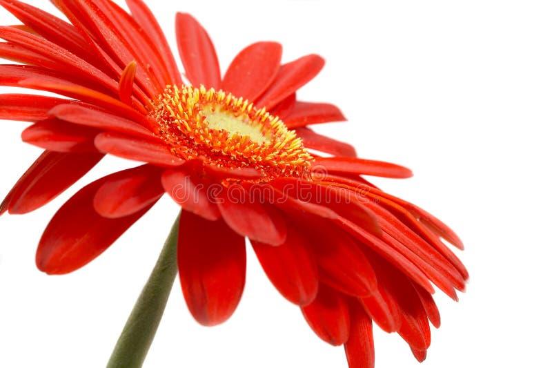 czerwony kwiat fotografia royalty free