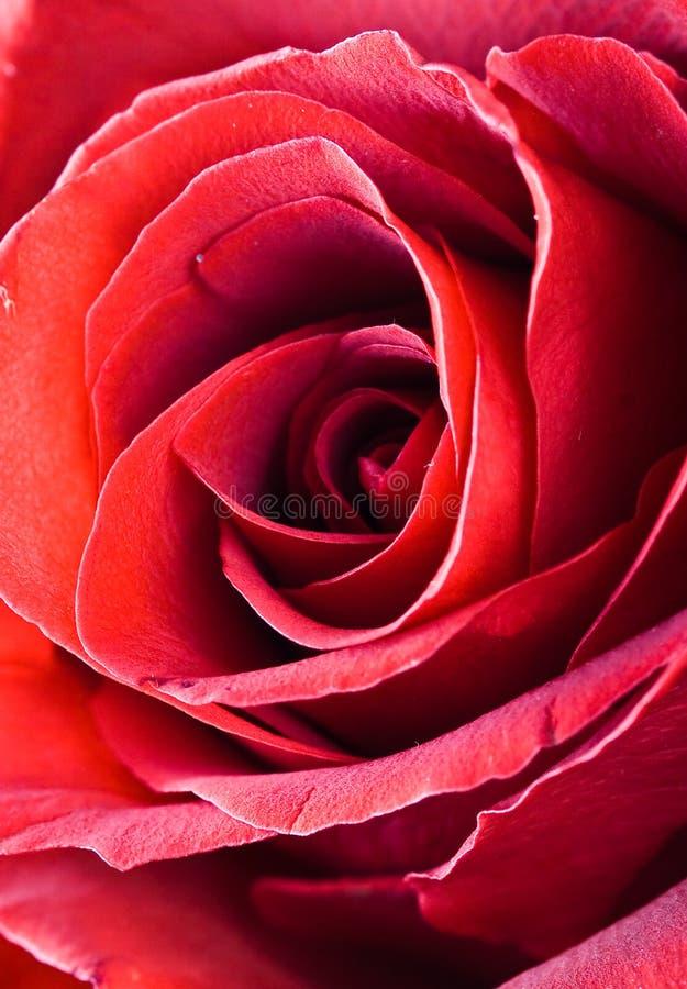 czerwony kwiat zdjęcia stock