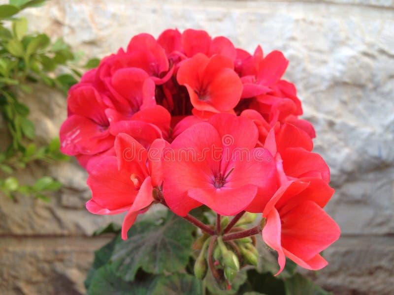 czerwony kwiat obraz stock