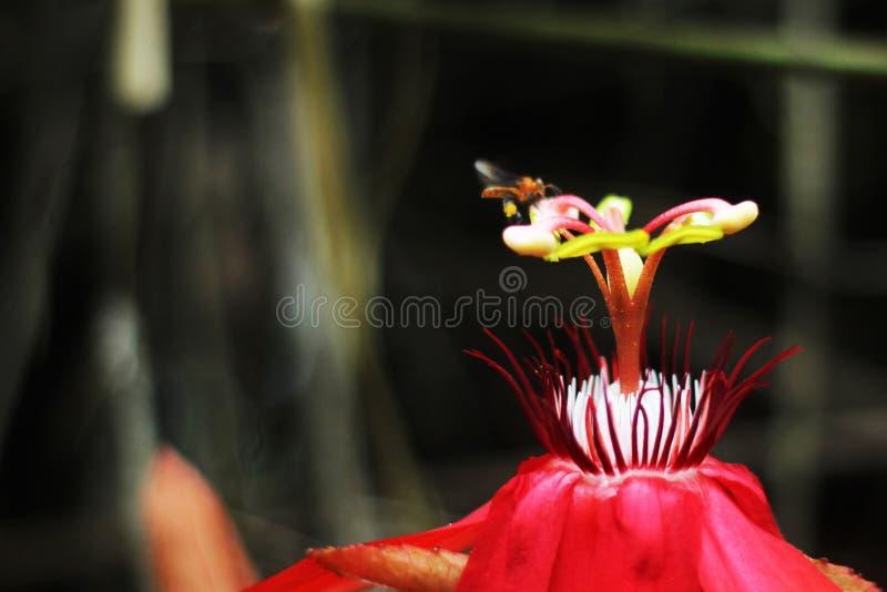 Czerwony kwiat i trigona obraz royalty free