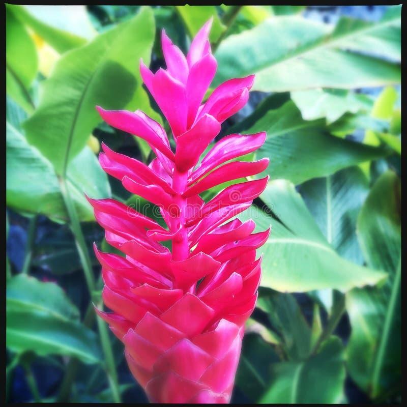 czerwony kwiat imbiru fotografia royalty free