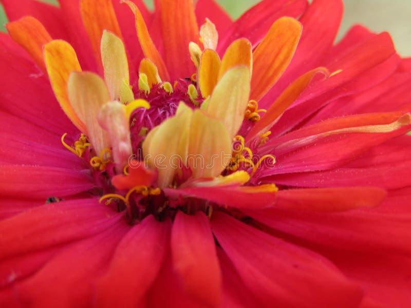 czerwony kwiat fotografia stock