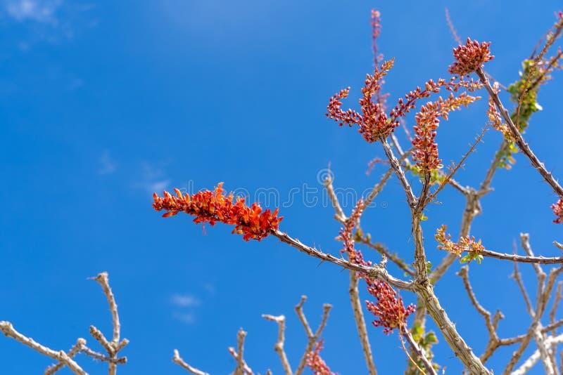 Czerwony kwiat kwitnie na Ocotillo Fouquieria splendens pustynnej roślinie przeciw niebieskiemu niebu podczas wiosny obraz stock