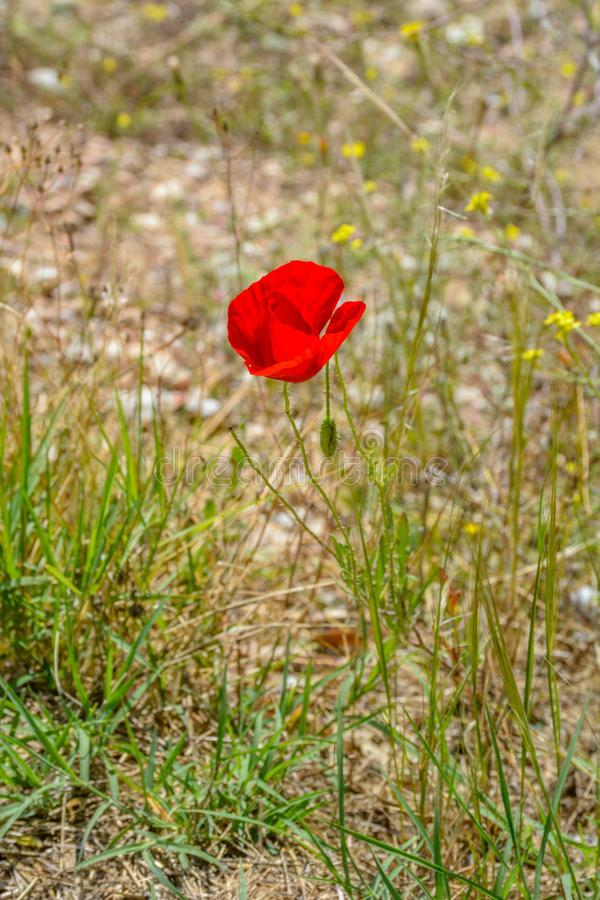 Czerwony kwiat maczek, Papaver, okwitnięcie w suchej trawie obraz stock