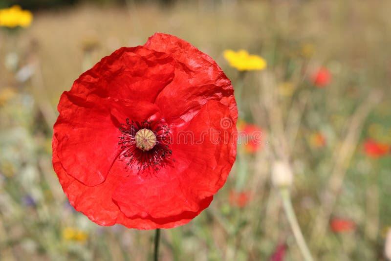 Czerwony kwiat maku obraz stock