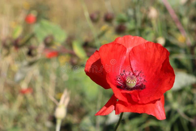 Czerwony kwiat maku fotografia stock