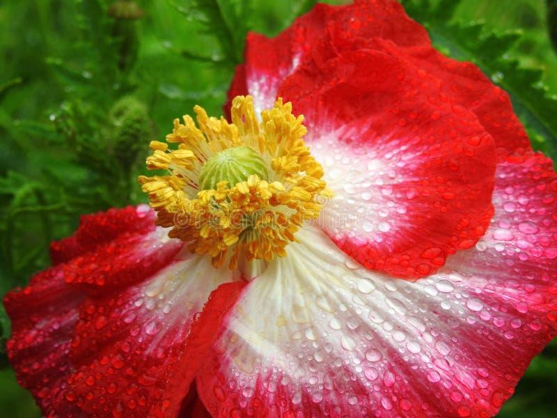 Czerwony kwiat maku w parku, Litwa obrazy stock