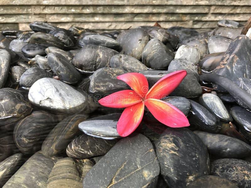 Czerwony kwiat na czarnych galets 2 zdjęcie royalty free