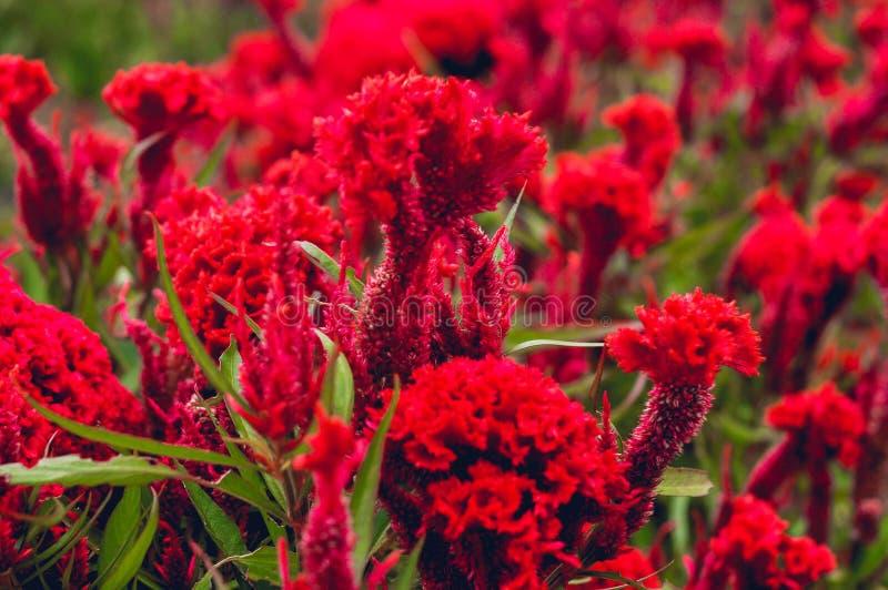 Czerwony kwiat Piękny zdjęcie stock