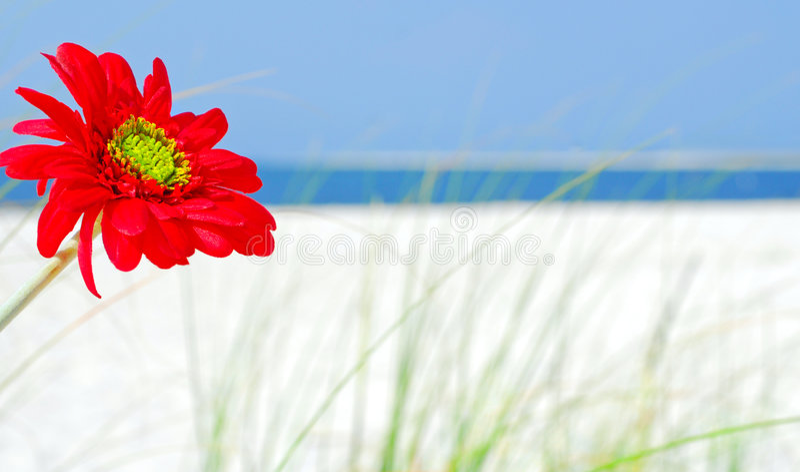 czerwony kwiat plażowa fotografia royalty free