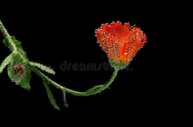Czerwony kwiat pod wodą na czarnym tle opuszcza obrazy royalty free