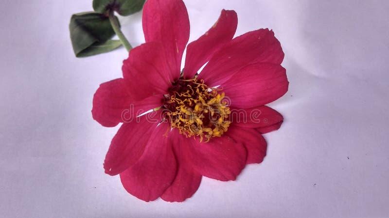 Czerwony kwiat w białych tło obrazy stock