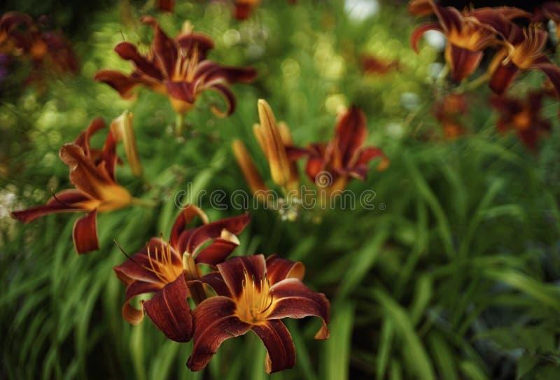 czerwony kwiat w górę lelui zieleni liścia bokeh tła plenerowego ogródu obrazy royalty free