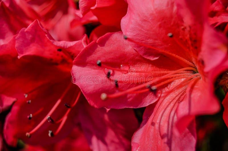 Czerwony kwiat z kroplami woda obrazy royalty free