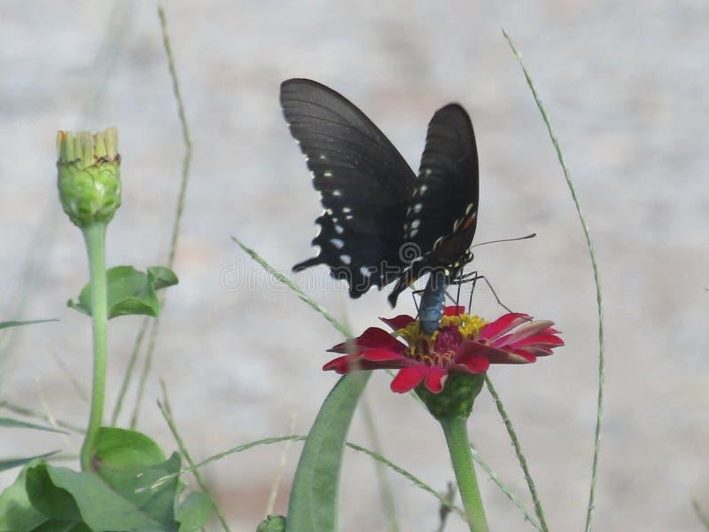 Czerwony kwiat z motylem obraz royalty free