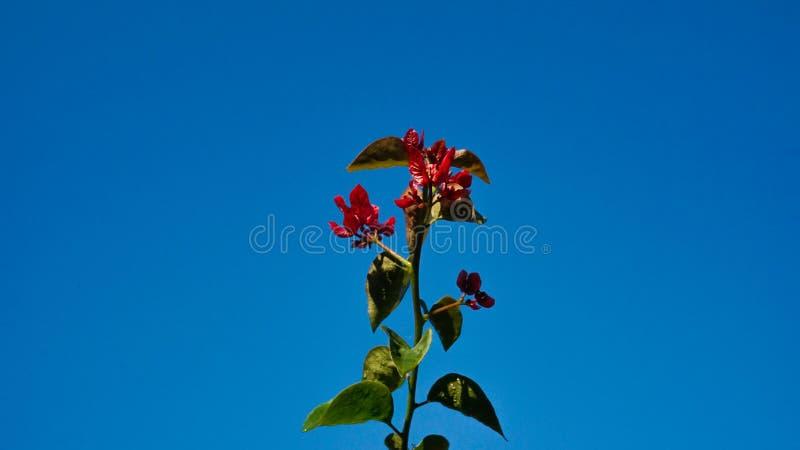Czerwony kwiat z niebieskiego nieba tłem zdjęcie stock