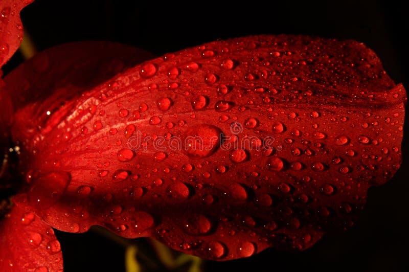 Czerwony kwiat z wodnymi kroplami zdjęcie stock