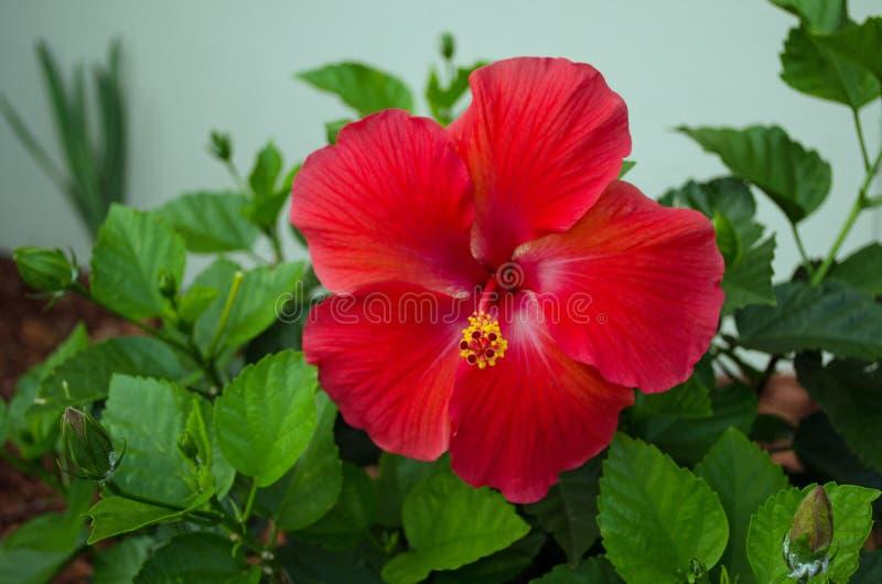 Czerwony kwiat z zielonymi liśćmi zdjęcie stock